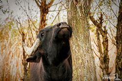 буйволы в одесской области