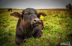 На юге Одесской области поселились буйволы (ФОТО)