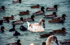 Под Одессой на паромной переправе зимуют лебеди (ФОТО)