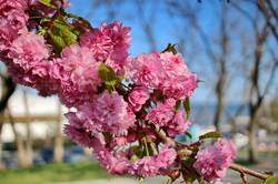 В Одессе невероятно красиво цветут сакуры и магнолии (ФОТО)