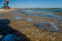Одесские пляжи от Пересыпи до Лузановки заполонили медузы (ФОТО)