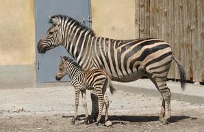 В одесском зоопарке родился детеныш зебры