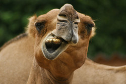 Исторические казусы: Тайна Лох-Несса раскрыта — это верблюд!