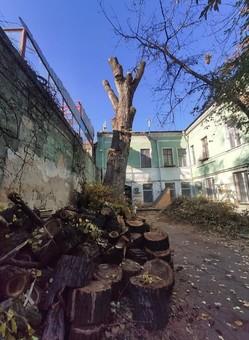 В Одессе уничтожили одно из самых старых деревьев в городе