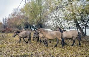 В дельте Дуная поселили диких лошадей