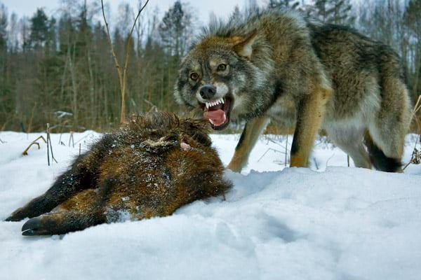 Идет охота на волков...