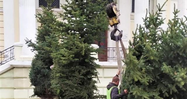 В Одессе высадили голубые ёлки около здания мэрии
