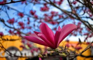 В Одессе удивительно красиво цветет магнолия (ФОТО)